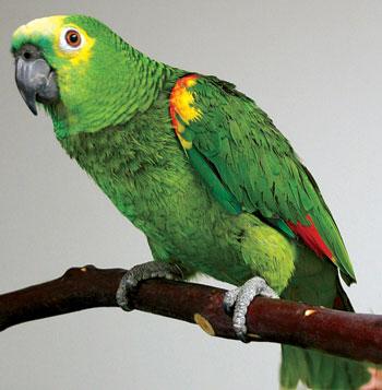 Сонник попугай убить