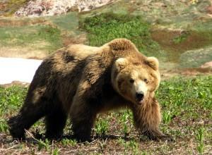 p62 300x220 Сонник медведь как символ соперничества
